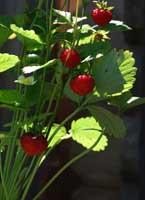 Erdbeere, Wald- / Walderdbeere