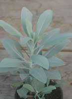 Salbei, indianischer Räuchersalbei / Weißer Salbei / White Sage