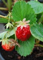 "Erdbeere ""Korona"""