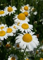 Kamille, römische-