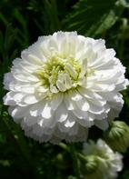Kamille, römische Rasen- / römische Rasenkamille