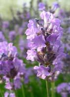 Lavendel, Speick- / Speicklavendel