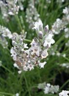 Lavendel, weißblühend