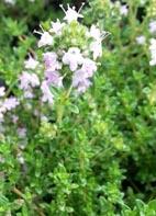 Thymian, Lavendel- / Lavendelthymian